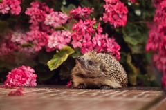 Cute wild hedgehog in summer nature background Royalty Free Stock Photos