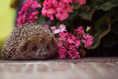 Cute wild hedgehog in summer nature background Royalty Free Stock Photography