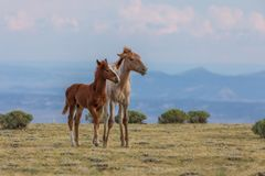 Cute Wild Horse Foals in the Desert Royalty Free Stock Photos