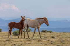 Cute Wild Horse Foals Royalty Free Stock Image