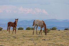 Cute Wild Horse Foals in Summer Stock Photography