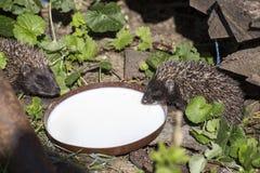 Two little Hedgehog drinking milk Stock Photos