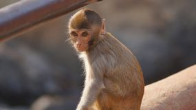 A cute wild monkey royalty free stock photo