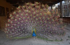 Beautiful and colorful peacock with large feathers. Cute and wild peacock with large feathers stock photo