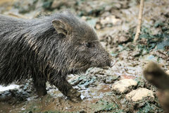 Cute wild pig  cub in the mud.  Royalty Free Stock Photography