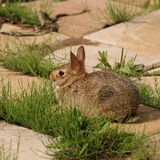 Cute wild rabbit royalty free stock image