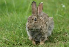A cute Wild Rabbit disambiguation feeding in a meadow. A sweet Wild Rabbit disambiguation feeding in a meadow royalty free stock image