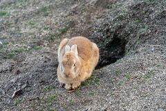 Free Cute Wild Rabbits On Okunoshima Island. Hiroshima, Japan Stock Image - 183685581