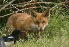 A cute wild Red Fox cub, Vulpes vulpes, licking its lips watching a Magpie feeding in the long grass. stock photo