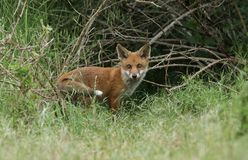 A cute wild Red Fox cub, Vulpes vulpes, standing at the entrance to the Den. royalty free stock image