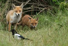 A cute wild Red Fox cub, Vulpes vulpes, standing in the long grass next to the vixen. royalty free stock photos