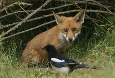 A cute wild Red Fox cub, Vulpes vulpes, watching a Magpie feeding in the long grass. royalty free stock photo