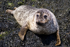 Cute wild seal Isle of Skye Royalty Free Stock Photo