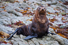 Cute wild seal at Seal Stock Images