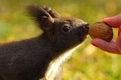 Cute wild squirrel picking nut Stock Photography