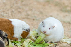 Cute wild white rat and hamster Royalty Free Stock Image