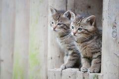 Cute wildcat babies Stock Images