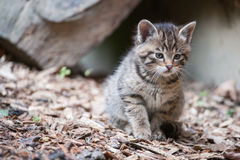 Cute wildcat baby Royalty Free Stock Photography