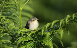 A cute Willow Warbler, Phylloscopus trochilus, chick, perched on bracken. Royalty Free Stock Images