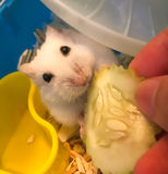 Cute Winter White Dwarf Hamster is being fed with cucumber. The Winter White Hamster, also known as the Winter White Dwarf, the Djungarian or the Siberian stock images