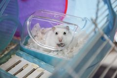 Cute winter white hamster pet animal dressing with shredded white tissue paper as mummy in disguise for festive Halloween holiday. Human friend, pet love care royalty free stock images