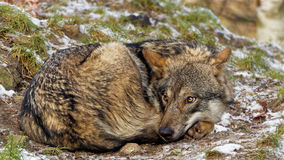 Cute wolf  looking scared Royalty Free Stock Photography