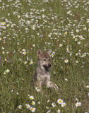 Cute Wolf Puppy. Wolf pup poses in a field of wildflowers royalty free stock photo