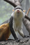 Wolf`s Guenon Monkey Gazing Up at Another Monkey Stock Images