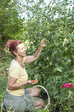 Cute woman picking organic cherry tomatoes Royalty Free Stock Photos