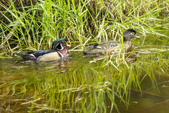 Cute wood duck couple. Royalty Free Stock Photos