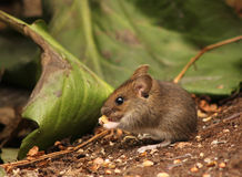 Cute wood mouse baby Stock Photo