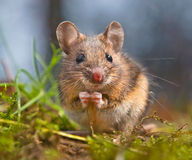Cute Wood mouse sitting on its hind legs Stock Photography