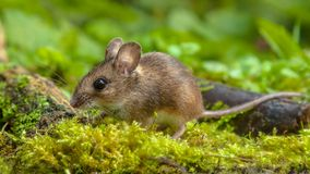 Cute Wood mouse walking on forest floor. Cute Wild Wood mouse (Apodemus sylvaticus) walking on the forest floor with lush green vegetation royalty free stock photo