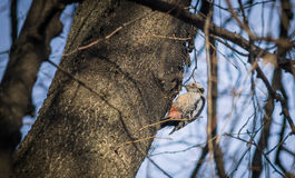 Cute woodpecker on the branch. Cute woodpecker on the branch Stock Image