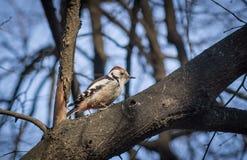 Cute woodpecker on the branch. Cute woodpecker on the branch Stock Photo