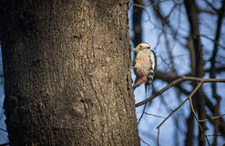 Cute woodpecker on the branch. Cute woodpecker on the branch Royalty Free Stock Photography
