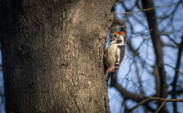 Cute woodpecker on the branch. Cute woodpecker on the branch Stock Photos