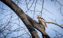 Cute woodpecker on the branch. Cute woodpecker on the branch Royalty Free Stock Images