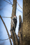 Cute woodpecker on the branch. Cute woodpecker on the branch Royalty Free Stock Photo