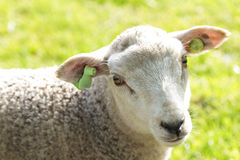 Cute wooly lamb looking while standing in a field Royalty Free Stock Photo