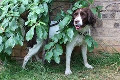 A cute working type english springer spaniel hiding behind a tree Royalty Free Stock Photo