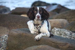 A cute working type english springer spaniel pet gundog on a rock at the beach Royalty Free Stock Image
