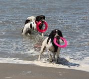 Cute working type english springer spaniels playing in the sea. Cute working type english springer spaniel playing in the sea Stock Photography