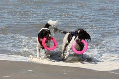 Cute working type english springer spaniels playing in the sea. Cute working type english springer spaniel playing in the sea Stock Images