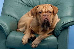Cute wrinkled dog on arm-chair Stock Image