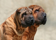 Cute, wrinkled dog puppies Royalty Free Stock Photos
