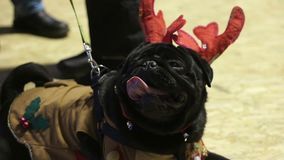 Cute wrinkly face of black pug wearing Christmas accessories, faithful dog