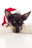 Cute Xmas Pincher dog Royalty Free Stock Photo