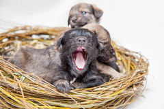 Cute yawning little puppies in straw nest Royalty Free Stock Photo