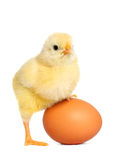 Cute yellow baby chick Royalty Free Stock Image
